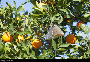 California Orange Tree with Med Fly trap